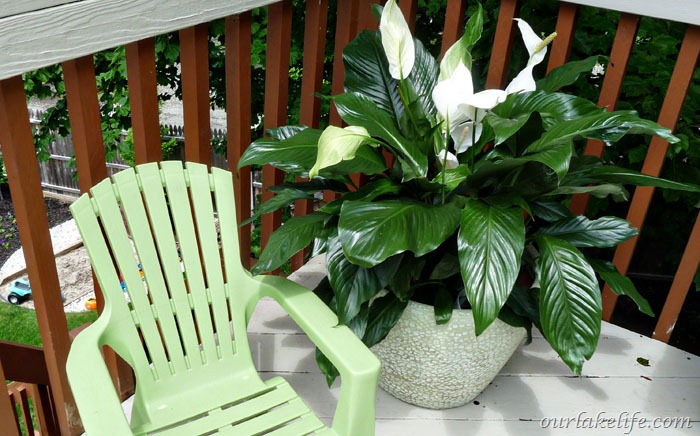 Peace Lilly